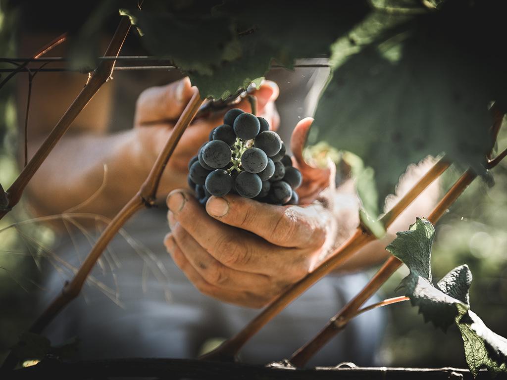 Grappoli vino rosso